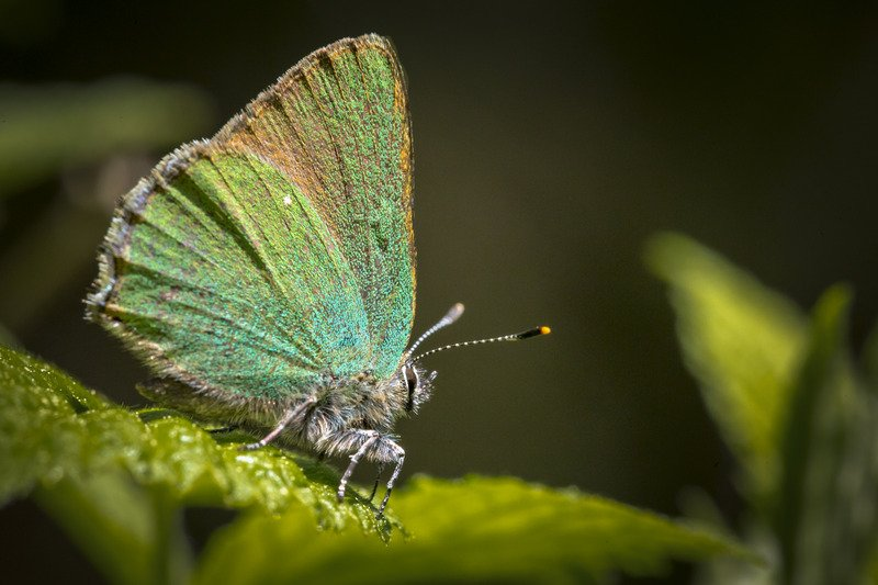 green butterfly meaning i.e. what does a green butterfly mean