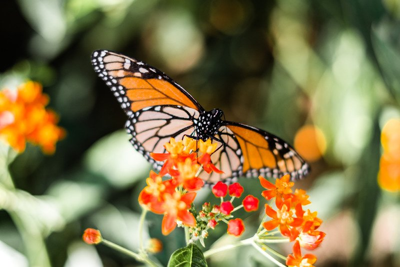 monarch butterfly meaning i.e. what does a monarch butterfly mean