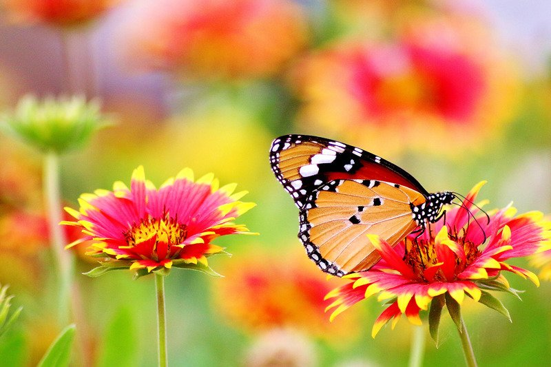 orange butterfly meaning i.e. what does a orange butterfly mean