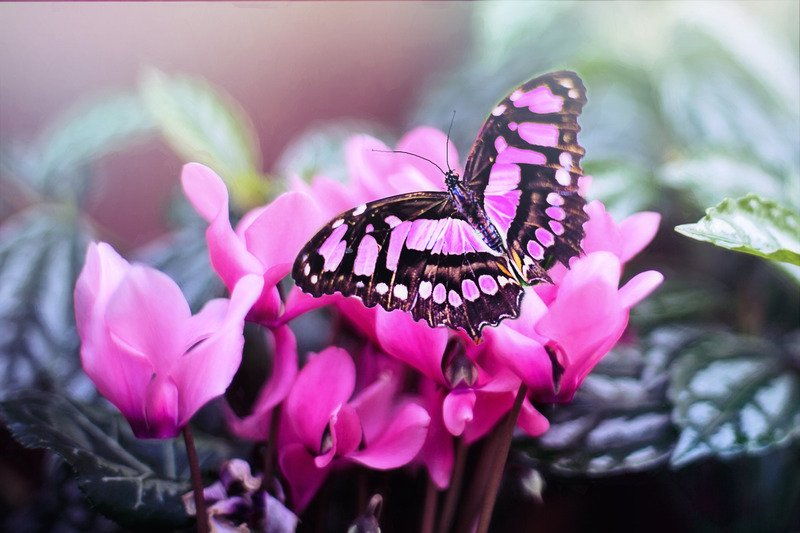 pink butterfly meaning i.e. what does a pink butterfly mean