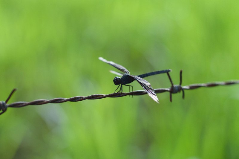 Black dragonfly meaning. Black Dragonfly chiefly represents uniqueness, the ability to stand out. It symbolizes privacy and aloofness.
