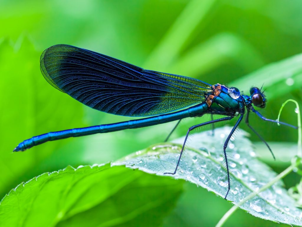 Blue dragonfly meaning. A blue Dragonfly is a channel of new beginnings. It symbolizes your heart chakra awakening and that you must embrace any new change