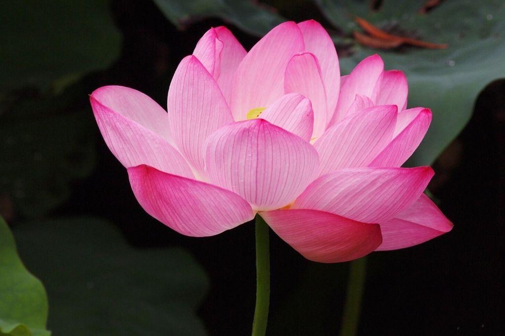 Pink Lotus Flower Meaning