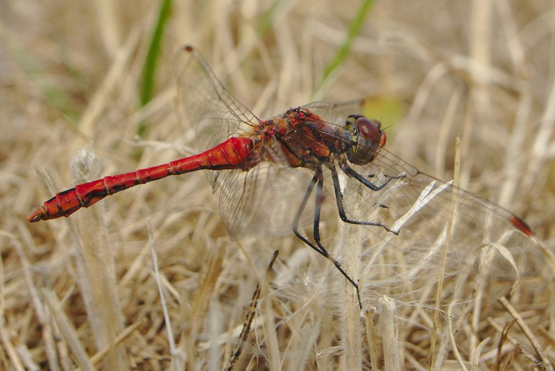 Red dragonfly meaning. Red Dragonfly spirit animal conveys a message of transformation and eternal love.