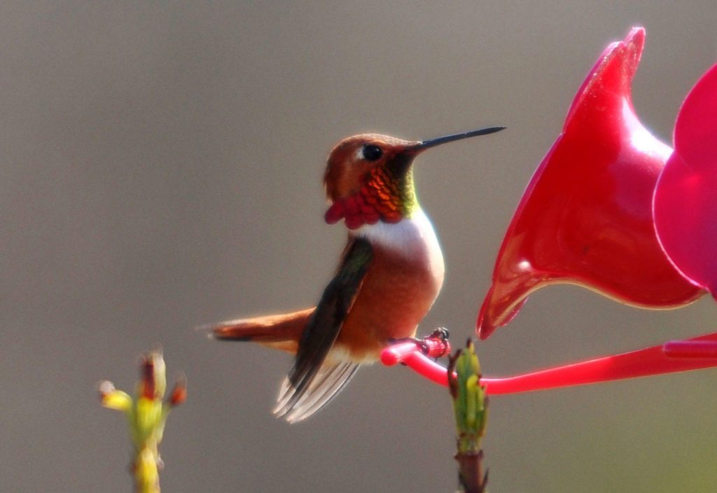Red hummingbird are loaded with positive spiritual energy.