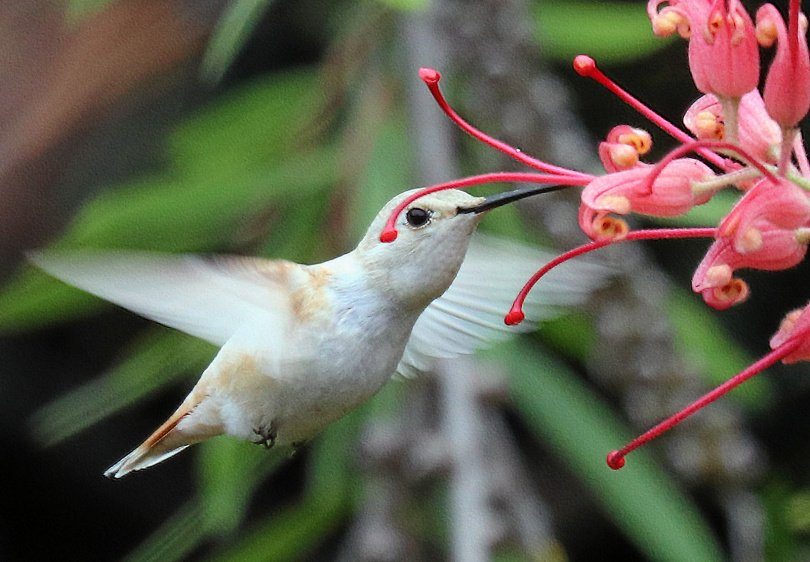 White hummingbird signals birth, new beginnings, and adventures.