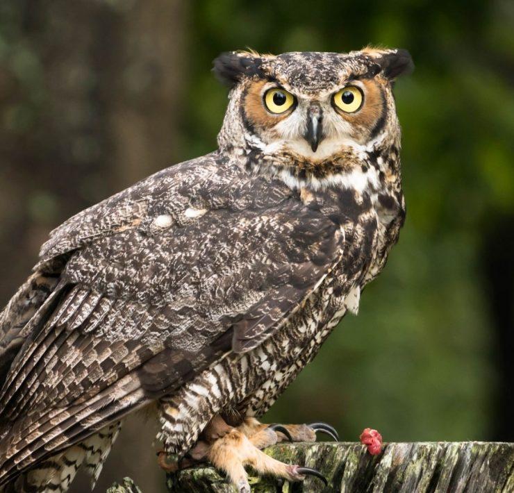 Owl in Dreams
