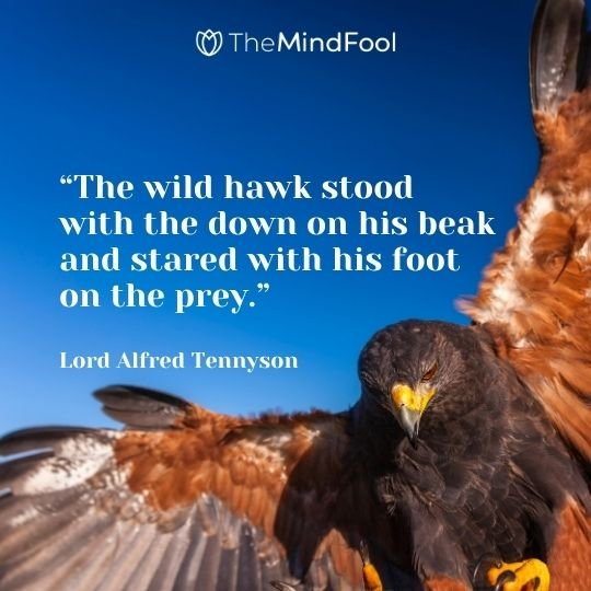 """The wild hawk stood with the down on his beak and stared with his foot on the prey."" – Lord Alfred Tennyson"