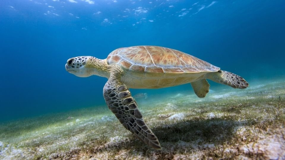 Turtle Meaning – Symbol of Good Omen and Positive Fortune