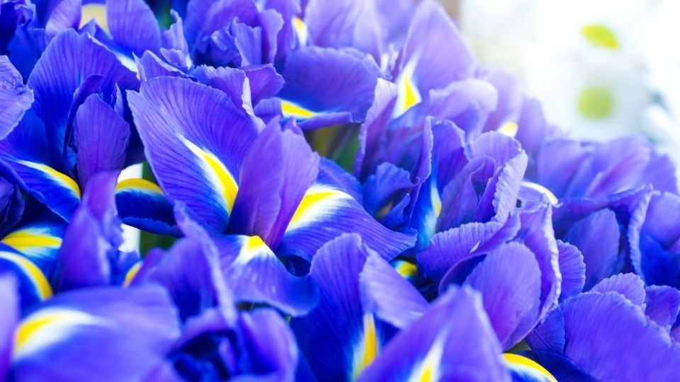 Iris Meaning