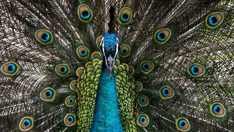 Peacock Meaning