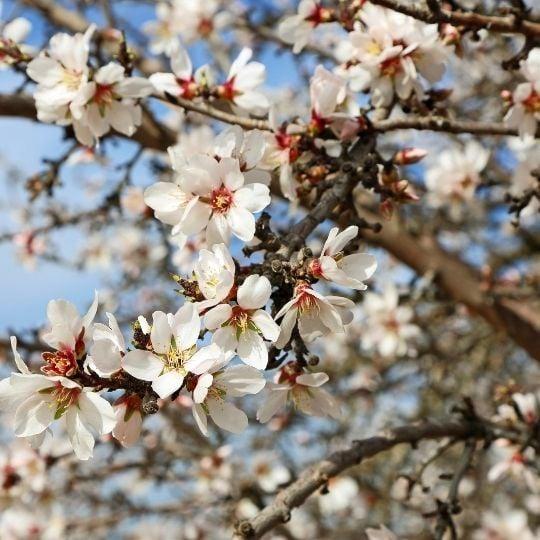 Hope Symbol- Almond Blossoms