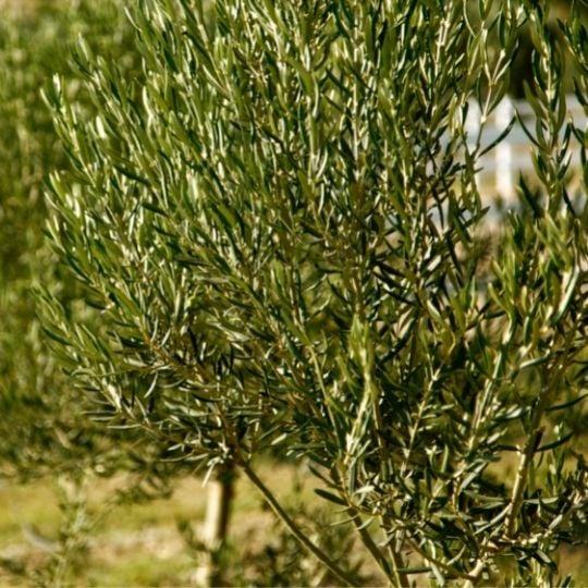 Hope Symbol- Olive Tree