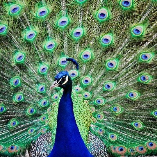 Hope Symbol- Peacock