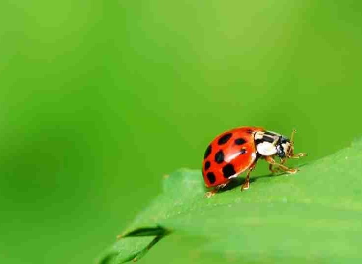 Ladybug Meaning & Symbolism - A Complete Guide