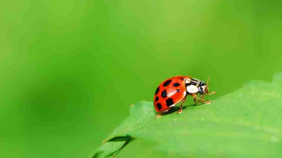 Ladybug Meaning & Symbolism – A Complete Guide